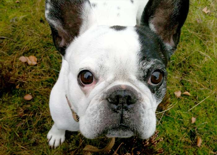 Annie - Franse Bulldog