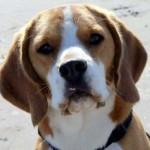 Bing - Beagle