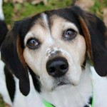 Jannie - Mix Beagle