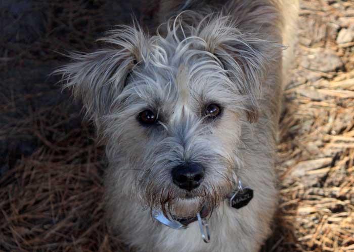 Mazl - Mix terrier