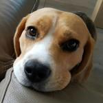 Lara - Beagle