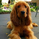 Lizzy - Cocker Spaniel