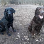 Luca & Lola - Labrador