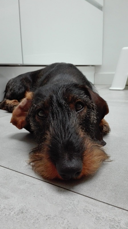 Moritz - Teckel