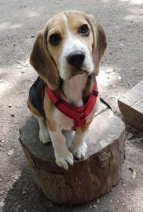 Boris - Beagle