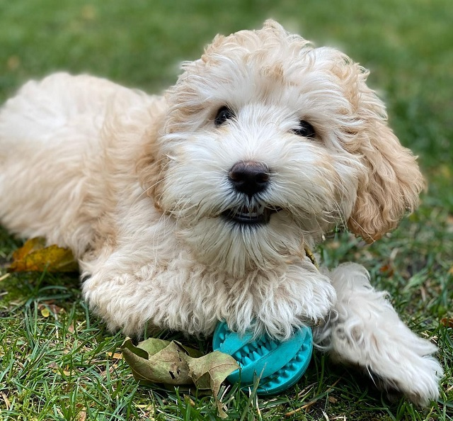 Mila - Mini Labradoodle