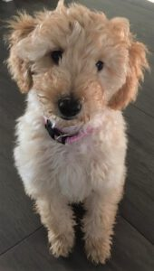 Teddy - Mini Labradoodle