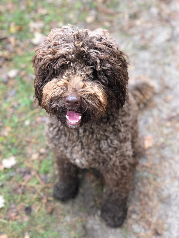 Toby - Labradoodle