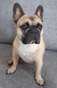 Zaza - Franse Bulldog