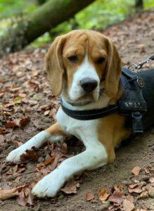 Bert - Beagle
