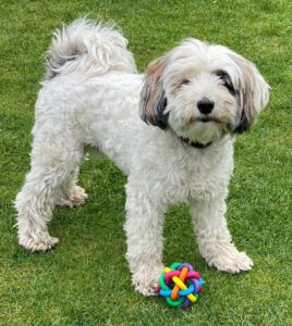 Bob - Tibetaanse Terrier